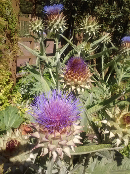 Luther Burbank's Garden Artichoke Blossoms